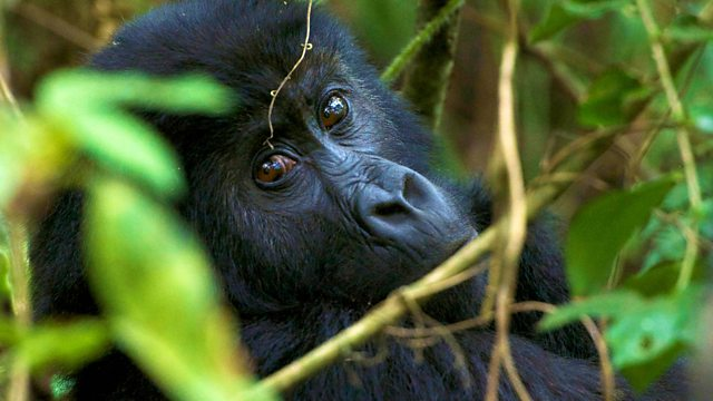 Meet the Grauer's Gorillas: a virtual reality
