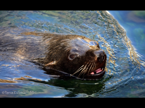 fur_seal_MCU